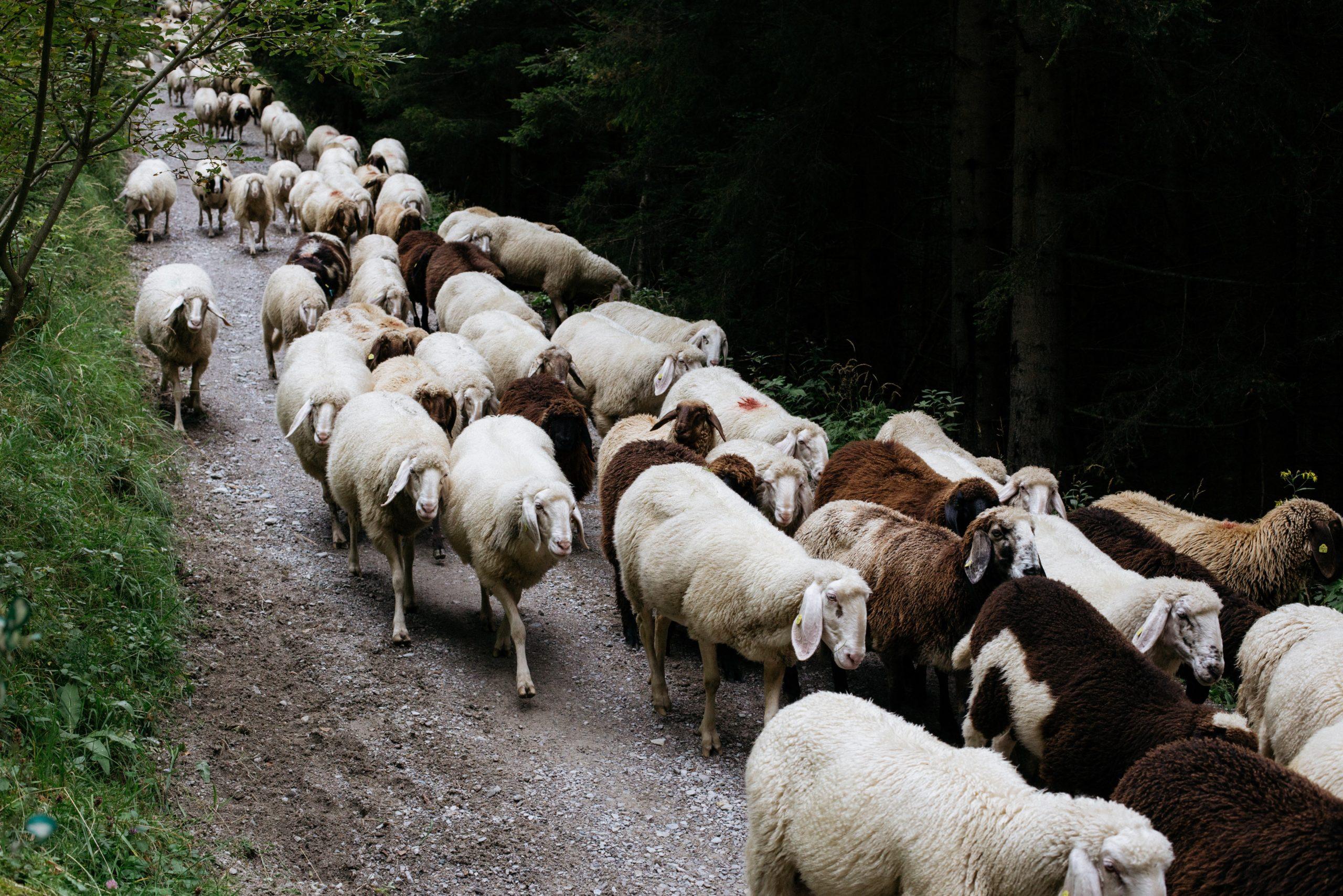 Adulte zèbre surdoué : faut il être un mouton pour s'intégrer ?